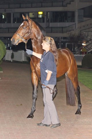Sire Keano at TBV's First Season Sires parade at Caulfield in 2011