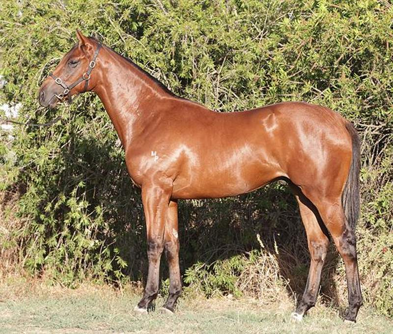 Southern Dragon as a Inglis Premier Sale yearling
