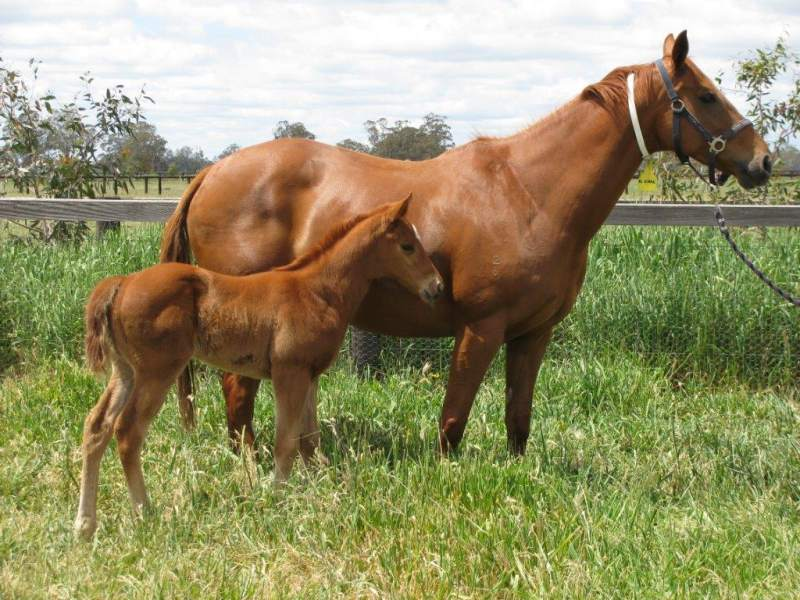 Wangaratta winner Hard Spark (Hard Spun) as a foal with dam El Spark at Wingrove Park, Kerrie