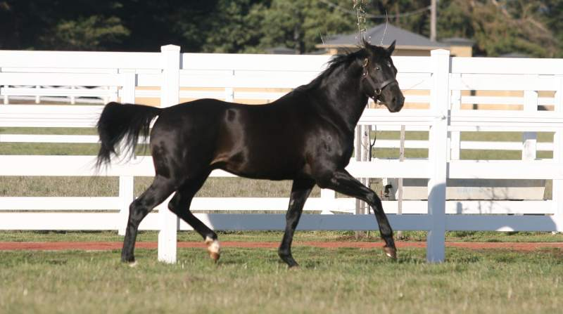 Econsul in his stallion days at Woodside